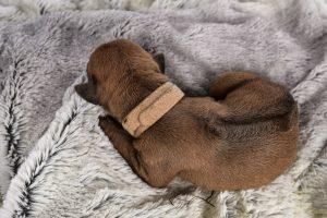 austin rhodesian breeder may 2020 litter