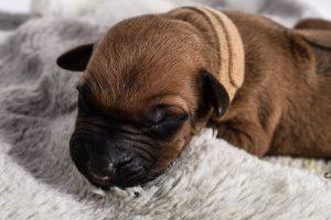 austin rhodesian ridgeback male dogs for sale