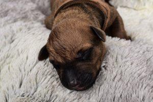 Rhodesian Ridgeback Puppies Austin Texas 2020