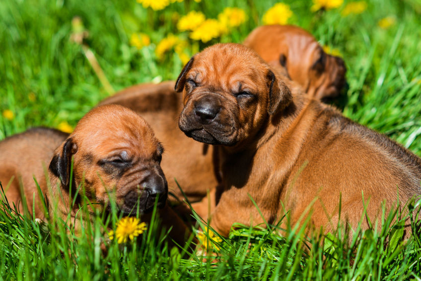 Rhodesian Ridgeback Puppies for sale in Austin Texas