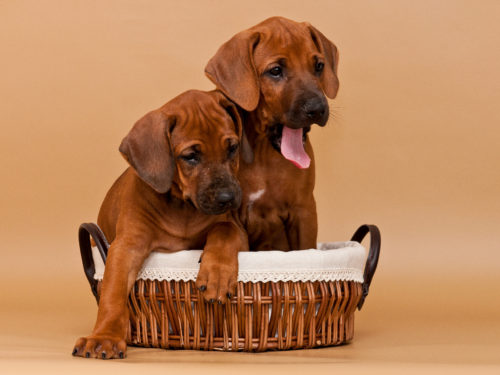 Rhodesian Ridgeback Puppies For Sale May 2020