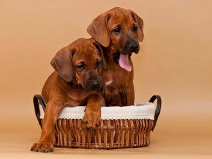 Rhodesian Ridgeback Puppies For Sale May 2020