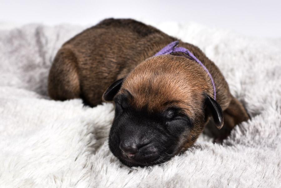 ausin ridgeback puppies for sale females