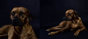 austin rhodesian ridgeback female puppies austin texas
