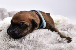 austin ridgeback breeder female puppy little
