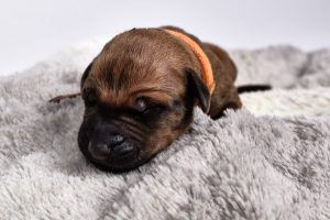 buy a female ridgeback puppy