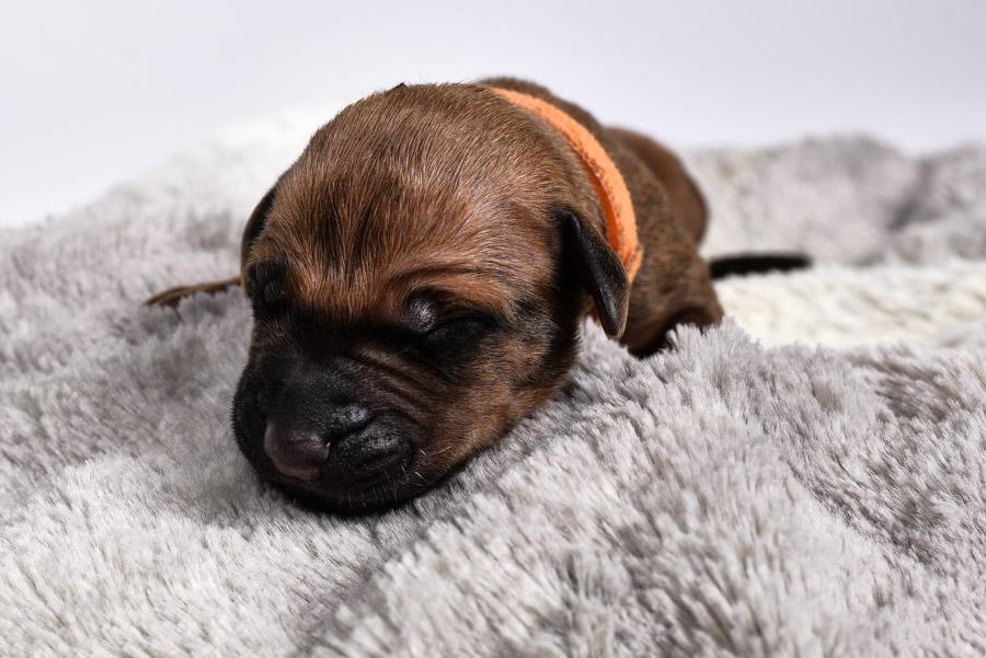 buy a female ridgeback puppy