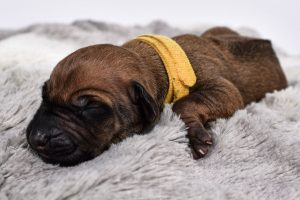cute puppy for sale rhodesian male
