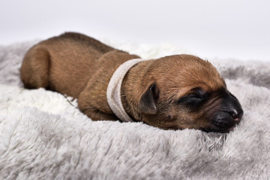 cute ridgeback female puppy for sale austin texas