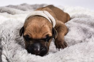 female rhodesian ridgeback puppies for sale in austin tx