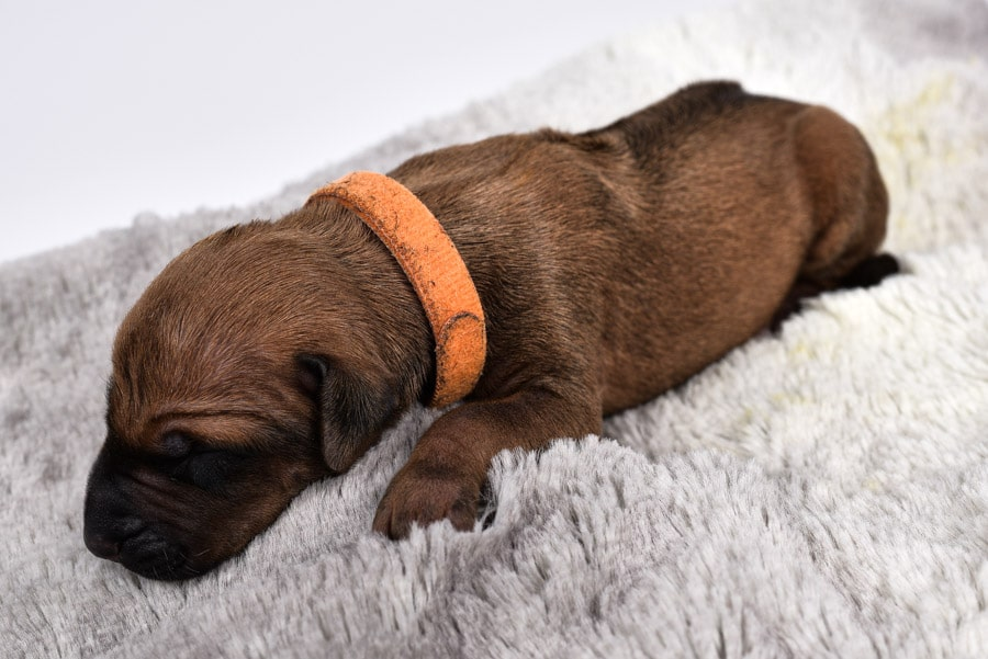 female rhodesian ridgeback puppy for sale