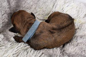 find a female rhodesian ridgeback puppy