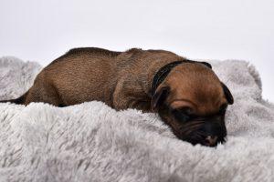 rhodesian breeder for sale