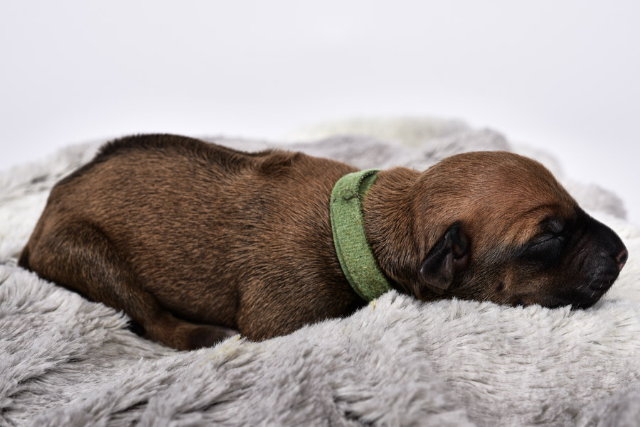 rhodesian female puppies for sale