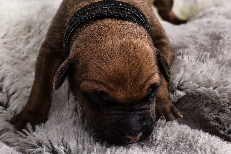 rhodesian male puppies for sale leander texas