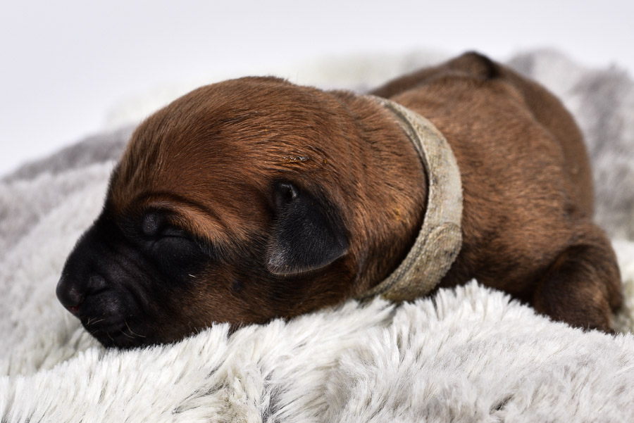 rhodesian ridgeback femaly puppy for sale