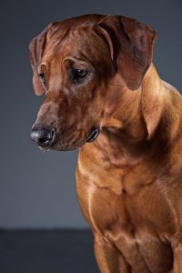 rhodesian ridgeback male breeding