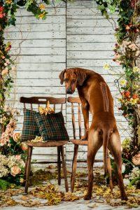 rhodesian ridgeback puppies austin