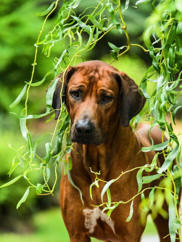 rhodesian ridgeback puppy austin texas