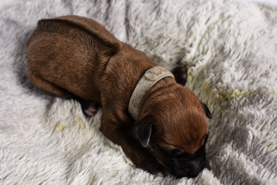 ridgeback female puppy for sale