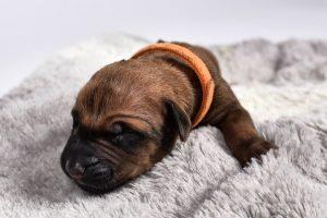 ridgeback newborn pup