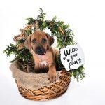 8 week old ridgeback pup