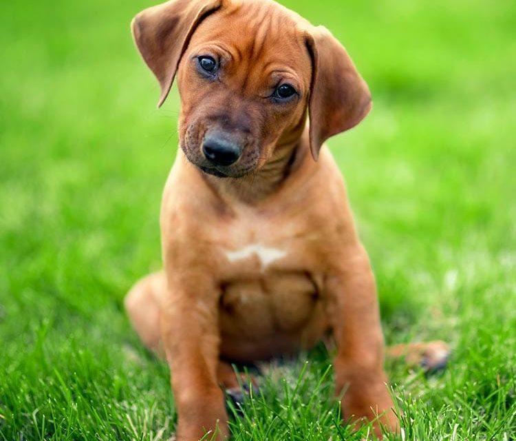 Our Next Rhodesian Ridgeback Puppy Litter