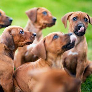 buy a rhodesian ridgeback puppy