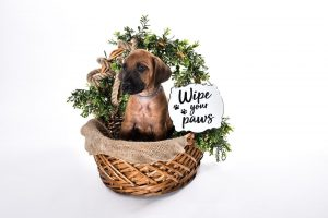buy rhodesian puppies