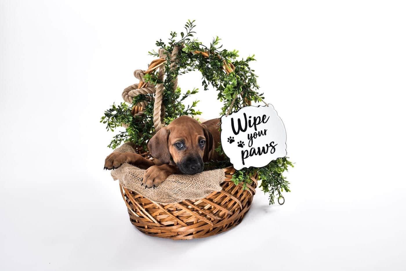 cute rhodesian puppy