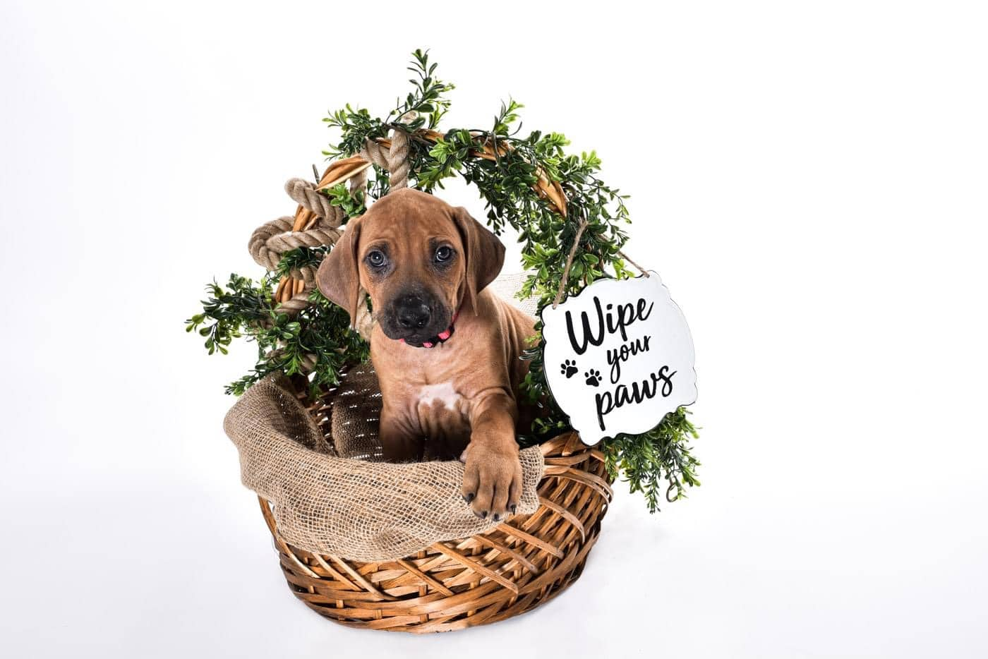 our ridgeback puppy