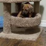playful puppy rhodesian for sale