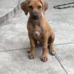 rhodesian puppy from texas rhodie breeder