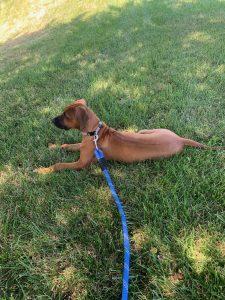 rhodesian ridgeback texas breeder puppies 2021