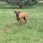 rhodesian running in field