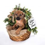 rhodesian texas puppy breeder