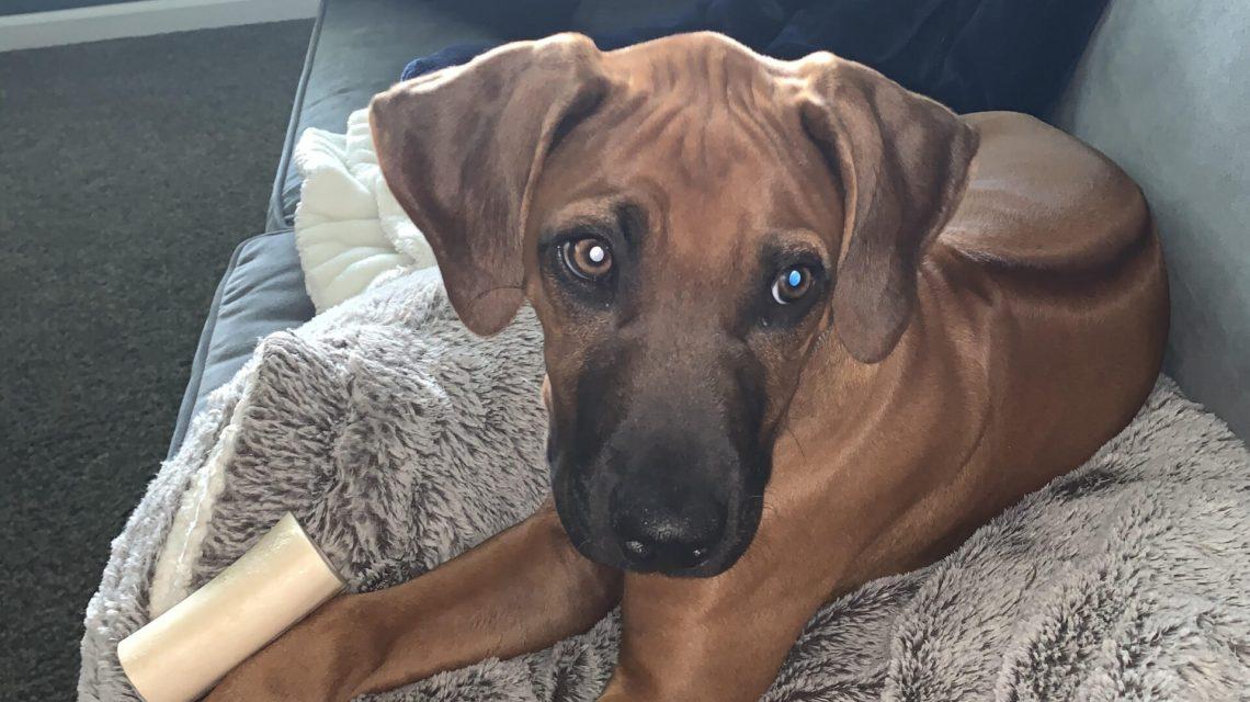rhodie puppy for sale