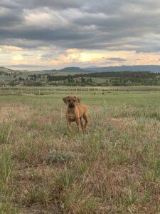 ridgeback 1 year old