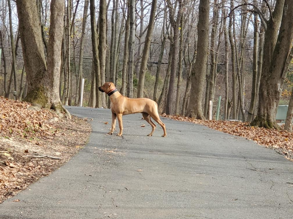 ridgeback adult running