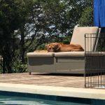 ridgeback pup in texas
