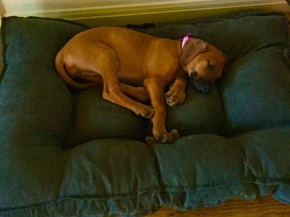 sleeping ridgeback puppy