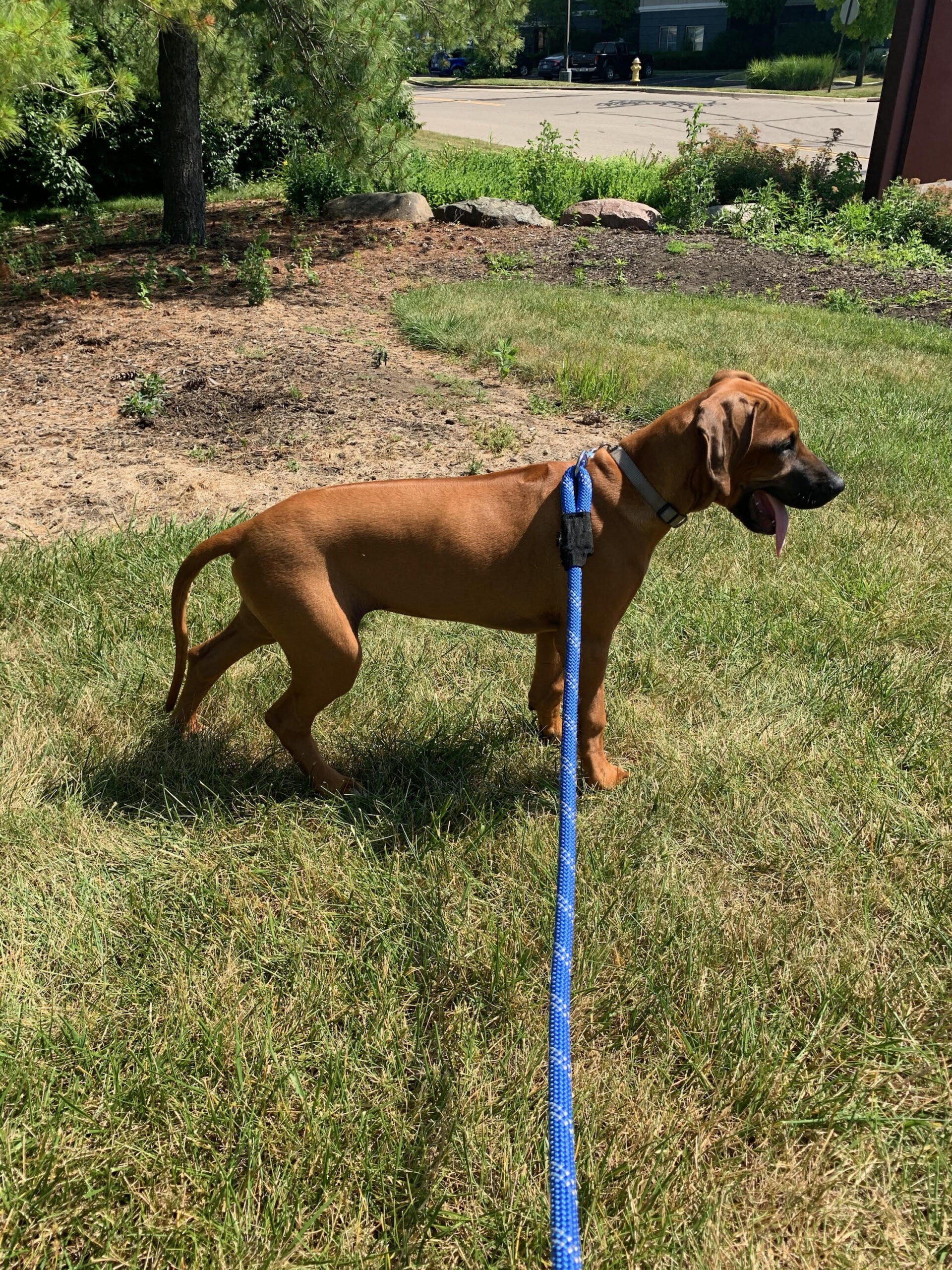 the rhodesian texas breeder puppies for sale