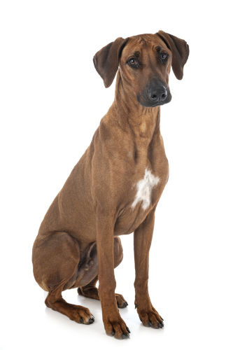 Rhodesian Ridgeback Breeding Rights in El Paso