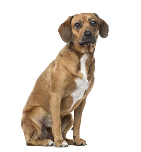 Rhodesian Ridgeback Breeding Rights in Kerrville