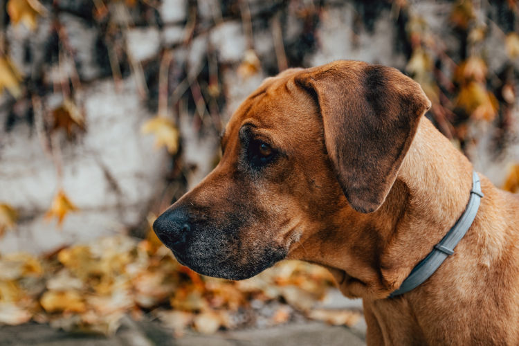 Rhodesian Ridgeback Female Puppy for Sale in Texas