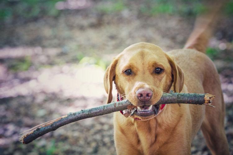 Rhodesian Ridgeback Male Puppy For Sale in Texas