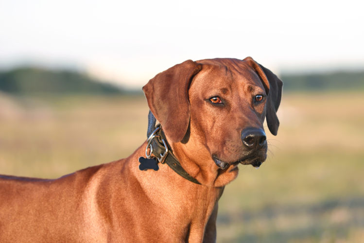 Rhodesian Ridgeback Puppies for Sale Austin Texas