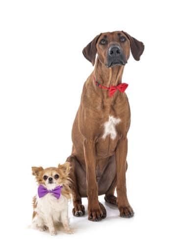 Rhodesian Ridgeback Puppies for Sale in Baytown