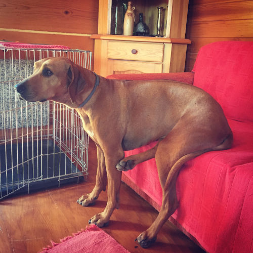 Rhodesian Ridgeback Puppies for Sale in DallasTexas
