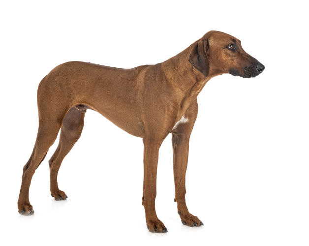 Rhodesian Ridgeback Puppies for Sale in El Paso Texas
